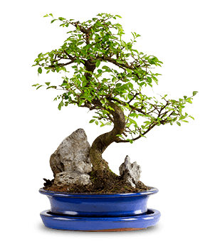 Zelkova Bonsai Orta Boy
