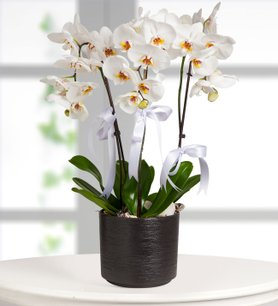 Beyaz Düşler Orkide
