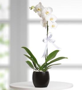 Siyah Beyaz Bir Aşk Hikayesi Orkide