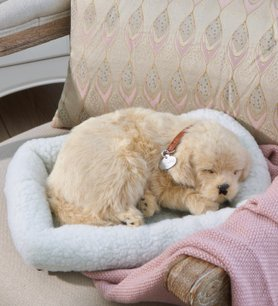 Perfect Petzzz  Golden Retriever